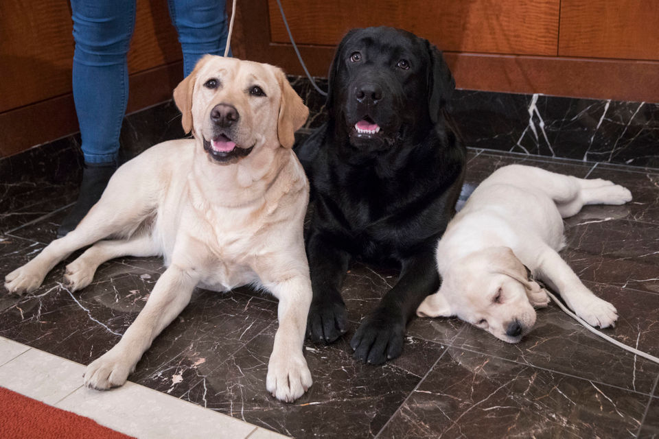 Labrador retriever most pup-ular US dog breed for 28th year: See the list