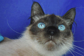 Three-year-old Siamese mix Rose is just beautiful. She is nervous in the shelter environment, but will warm up slowly to those who don't mind exercising some patience. All she needs an understanding family where she can blossom into the flower she's meant to be. Contact: Cat Adoption Team 14175 SW Galbreath Drive, Sherwood Web: https://catadoptionteam.org/ Phone: 503-925-8903