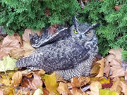 Who wins: truck versus owl, and the owl survives