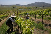 Hedging against climate change, wineries move to cooler zones