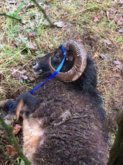 Deputies need help finding owner of possibly abandoned ram found in Boring