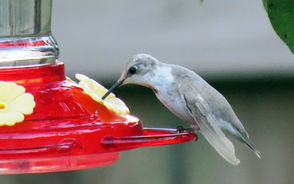 """White"" hummingbirds visit Alabama and they are not albinos."