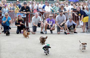 Dachshund Races draw crowd at Oktoberfest 2018: see photos