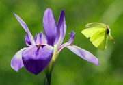 8 places to see Louisiana irises in bloom in New Orleans and beyond