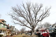 Lakewood takes down iconic 200-year-old Moses Cleaveland tree (photos)