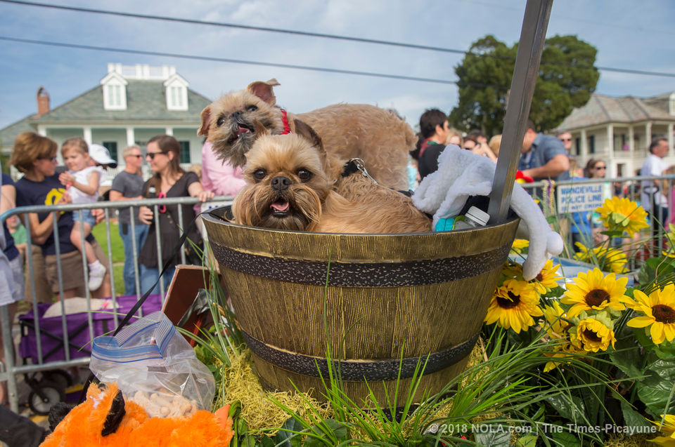 The Mystic Krewe of Mardi Paws marched on all four along the Mandeville lakefront on Sunday