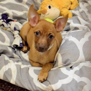 Mr. Man -Chihuahua, Short Coat Mix, Gender:Male, Age:3 months, Location:Springfield. For more information click here.