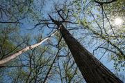 Ann Arbor releases plan for responding to gypsy moth outbreak