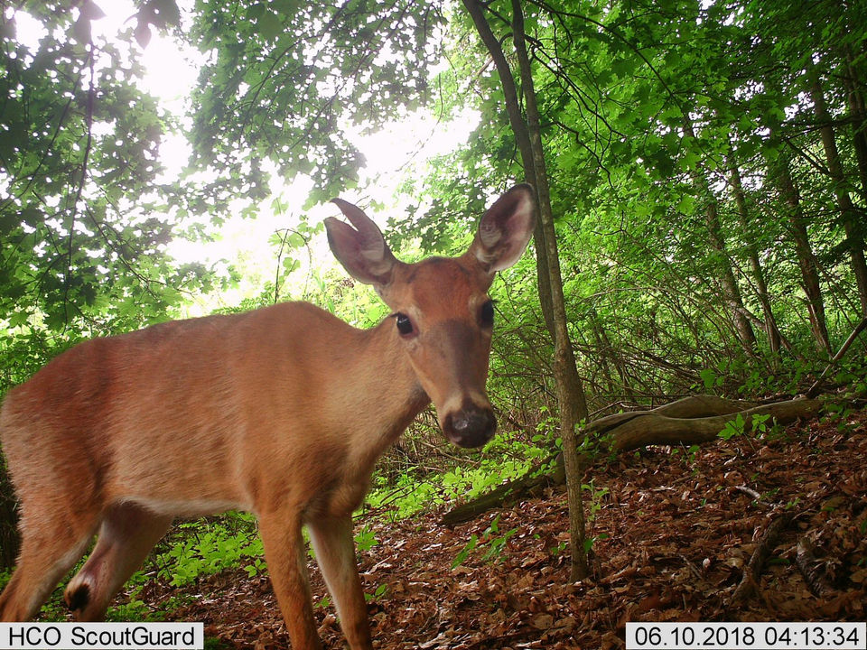 Cameras catch the action as wildlife wanders at Springfield's Forest Park (photos, video)