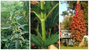 7 harmful plants in Upstate NY: How to identify poison ivy, sumac, nettles, more