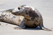 3 mended seals give a quick goodbye and head off into the wild