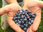 Blueberry picking: 24 U-Pick berry patches near you in Upstate NY