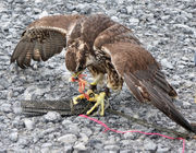 Trained falcons scare away trash-eating gulls at Finger Lake landfill (video)