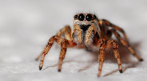 """Bring a flashlight. You'll need it after attending Tuesday's talk on """"Creepy Crawly Spiders of Alabama."""" Drew Hataway, a biologist at Samford University, will discuss these fascinating critters at Aldridge Gardens, starting at 6 p.m. He'll tell us how to identify dangerous and non-dangerous spiders, offer stories about his own experiences with spiders and bring specimens to view. Then he'll lead a field trip at the gardens, searching for wolf spiders with glow-in-the-dark eyes. No need to shiver; this seminar is meant to provide illumination and help banish the fear of spiders. """"Creepy Crawly Spiders of Alabama,"""" Oct. 16 at 6 p.m., Aldridge Gardens, 3530 Lorna Road, Hoover, $15, 205-682-8019. Related: 58 spiders in Alabama you should know"""