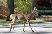 8 things to know about Michigan deer-vehicle crashes