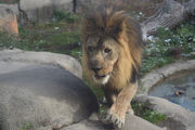 Syracuse says goodbye to M'Wasi, the last African lion at Rosamond Gifford Zoo