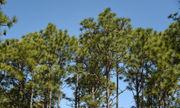 Controlled burns helping restore longleaf pine ecosystem in Alabama