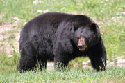 Which Pennsylvania counties see the most bears killed by hunters?