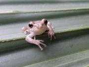 Poisonous Cuban treefrog invades Audubon Park, Zoo