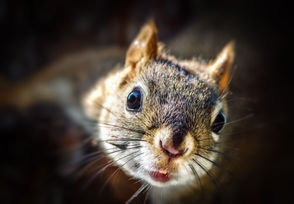"A University of Exeter study has shown that gray squirrels are fast learners capable of adapting tactics to improve efficiency in locating food.  To test the animals' intelligence and mental flexibility researchers invented a task involving a box with 12 sunken wells, four of which were hollow. Of the four, two contained hidden hazelnuts. The hazelnuts were placed in the wells diagonally across from each other, meaning that the least efficient way for the squirrels to locate the food was to check each well in a clockwise or counter-clockwise sequence, and the most effective was an ""integrative"" approach where squirrels checked only the two diagonal wells that contained food, ignoring the two empty wells. The five squirrels in the study were given training prior to the task so they were proficient at using their paws or teeth to peel back the layer of paper hiding a nut inside the wells. All of them showed improvement over successive attempts with the box, becoming more efficient in adjusting their behavior to adapt to the task."