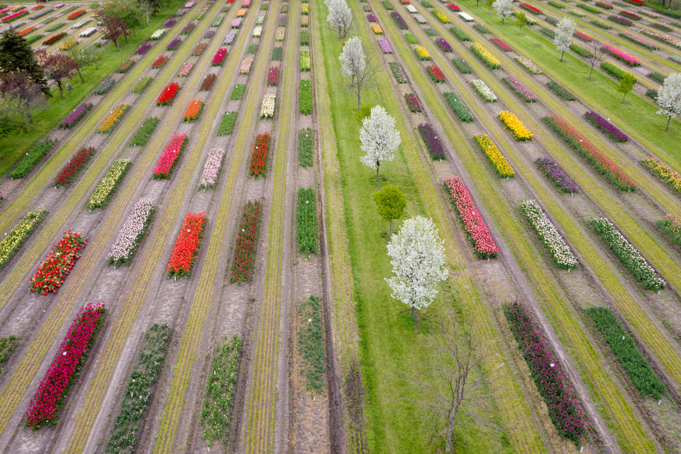 Aerial view shows Holland tulips in full bloom | MLive com