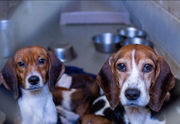 'Beaglemania' ends with adoptions pending for 65 rescued dogs: humane society