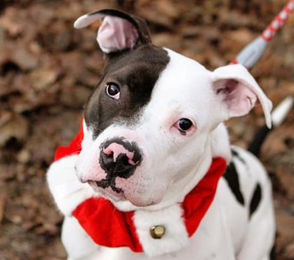 Kali - in Foster Care Terrier, American Pit Bull Mix; Gender:Female; Age:10 months; Location:Springfield. For more info click here.