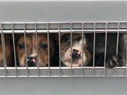 110 dogs, 1 cat who were at risk of euthanization in Oklahoma, fly to safety in Oregon