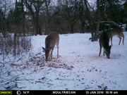 See 2018 trail-cam photos of Ann Arbor's urban deer herds