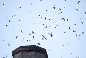Everybody loves watching the Vaux's Swifts swirl back into the chimney at Chapman Elementary School. Grab a picnic and participate in this September tradition.