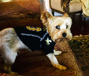"""Eight-year-old Yorkshire Terrier, Bojangles Hoselle, shows his reaction when a controversial call went against the Saints. --€"""" owner Cheryl Hurstell"""