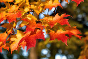 Grab the rake: High winds will tear leaves from trees in Upstate NY