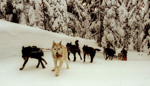 You don't have to be a trained musher to ride with the dogs in Oregon. Mt. Bachelor offers sled dog rides through Oregon Trail of Dreams. Call ahead to set up your ride.