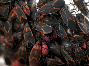 Boxelder bugs swarm.