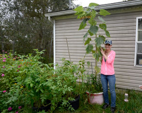 Photos of Crystal Wenman with her 7-foot-tall sunflower.
