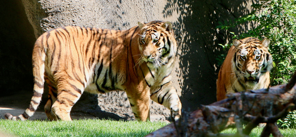 Detroit Zoo welcomes young, endangered tiger brothers to huge expanded 'tiger forest'