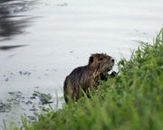 As nutria invade the West Coast, Californians wonder 'should we eat them?': report