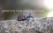 Spotted Lanternfly: What you need to know about this destructive bug
