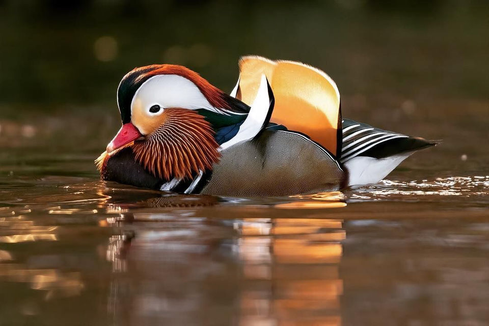 This Beautiful Mandarin Duck Is Spending Time In N J And