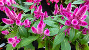 Meet the latest Louisiana Super Plant: Intenz Classic celosia, a fabulous pollinator plant