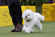 Westminster 2018: Flynn the bichon frise named best in show