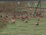7 things Upstate NY hunters should know about pheasant hunting