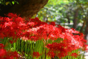 This week's gardening tips: Pollination Celebration and red spider lilies