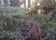 Documents show initial response, public outcry over fatal cougar attack