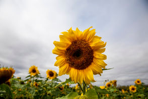 Sunflowers blow in the wind from cars at the I-75, US-10 interchange on Tuesday, Sept. 18, 2018.