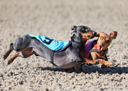 Wiener Dog Racing at Fair Grounds: photos & video