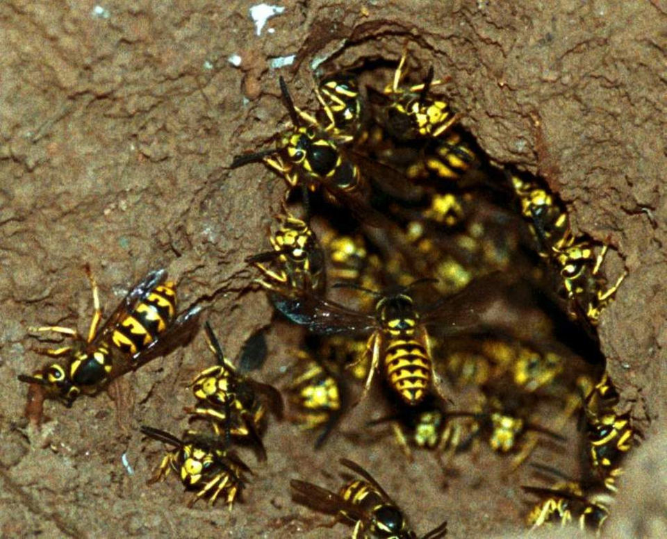 Yellowjackets buzz to the top of most popular gardening topics