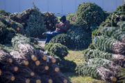 You'll likely pay more for your Christmas tree this year, auctioneer says