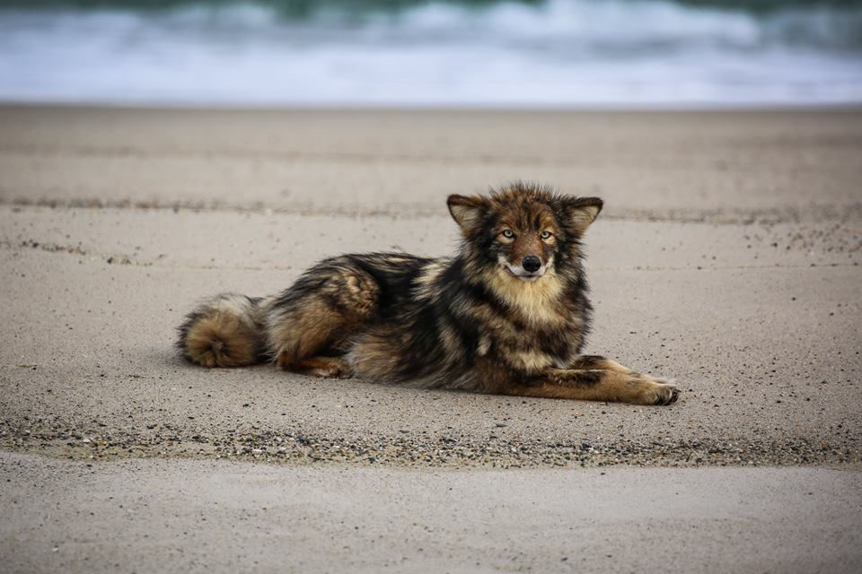 Is it a coyote? Cape Cod photographer captures strange-colored canine in beautiful beach shots