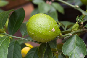 Q: I have heard that the Meyer lemon will grow in the area west of Portland. Is this true? – Multnomah County